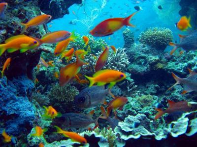 2009 04 01 r cifs coralliens 2 1 1