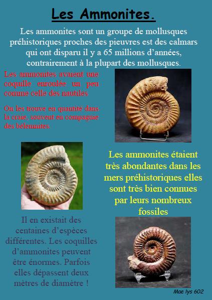 Ammonites maelys